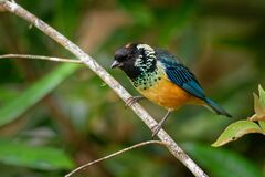 Free Spangle-cheeked Tanager - Tangara Dowii Passerine Bird, Endemic Resident Breeder In The Highlands Of Costa Rica And Panama, Stock Photo - 202030650