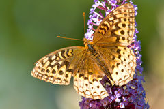 spangled большой fritillary бабочки Стоковая Фотография RF
