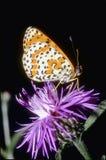 spangled отдыхать fritillary бабочки большой Стоковая Фотография RF