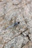 Spangled Abstreicheisen-Libelle auf Stein Stockfoto