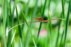 Spangled Abstreicheisen-Libelle (Libellula cyanea) Stockbild