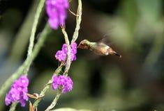 spangled coquetteecuador hummingbird Arkivfoton