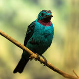 Spangled cotinga. Against nature background Royalty Free Stock Image