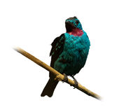 Spangled cotinga. (Cotinga cayana) over white background Royalty Free Stock Images