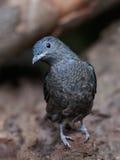 Spangled Cotinga (den Cotinga cayanaen) arkivfoto