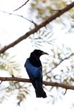 Spangled drongo stock foto