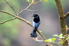 Spangled drongo. The spangled drongo is a bird of the family dicruridae. it is the only drongo to be found in australia where it can be recognised by its black royalty free stock image