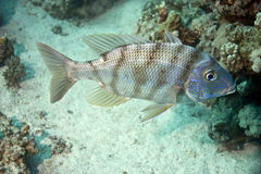 Spangled emperor (lethrinus nebulosus). Taken in Middle Garden Stock Photos