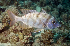 Spangled emperor (lethrinus nebulosus) Royalty Free Stock Photos