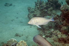 Spangled emperor (lethrinus nebulosus). Taken in the Red Sea Stock Photo