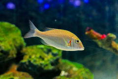 Spangled emperor. Or Lethrinus nebulosus, this species is commonly found at approximately 87 cm in length, but grows to 70 cm. It is yellow to yellowish-brown Stock Image