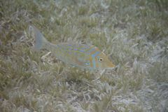Spangled Emperor in Red Sea. Spangled Emperor over Seagrass in Red Sea off Dahab, Egypt stock image