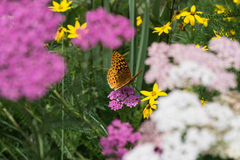 Spangled Fritillary. Orange spangled fritillary butterfly soaking in the sun and drinking some nectar on this cool, sunny Summer morning.  Tack sharp detail Stock Photos