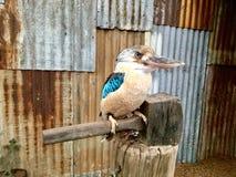 Aru Giant Kingfisher. The spangled kookaburra & x28;Dacelo tyro& x29; also called Aru giant kingfisher, is a little-known species of kookaburra found in the Aru stock photo