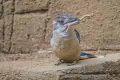 Spangled kookaburra, dacelobeginner, ijsvogel royalty-vrije stock afbeeldingen