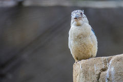 Spangled kookaburra, dacelobeginner, ijsvogel stock fotografie