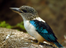 Spangled Kookaburra Kingfisher, South New Guinea Royalty Free Stock Images