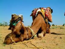 spanie wielbłądów Zdjęcia Royalty Free