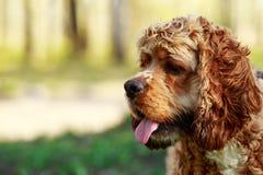 Spaniel американского кокерспаниеля породы собаки Стоковое Фото