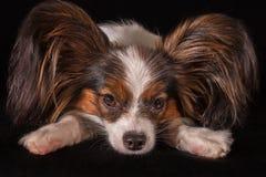 Spaniel игрушки Papillon красивой молодой мужской собаки континентальный на черной предпосылке Стоковое фото RF