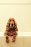 spaniel кокерспаниеля ванны Стоковая Фотография RF