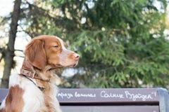 Spaniel кокерспаниеля сидя на ветви в парке Стоковые Изображения
