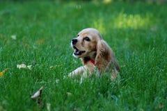 Spaniel кокерспаниеля на зеленой траве Стоковое Фото