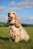 Spaniel кокерспаниеля сидя в поле Стоковые Фото