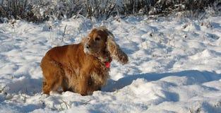 Spaniel кокерспаниеля собаки зимы Стоковые Изображения