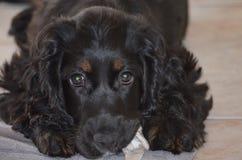 Spaniel кокерспаниеля щенка Стоковые Фото
