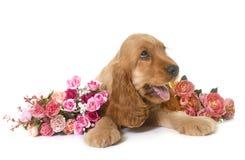 Spaniel кокерспаниеля щенка Стоковые Изображения