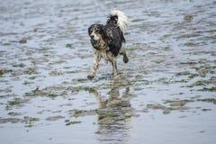 Spaniel короля Чарльза предусматриванный с грязью Стоковые Фото