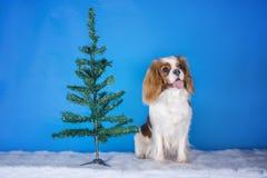 Spaniel короля Чарльза щенка кавалерийский в рождественской елке Стоковое Изображение