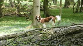 Spaniel Спрингера валийца взбираясь дерево стоковое фото rf