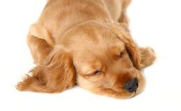spaniel щенка кокерспаниеля английский стоковое изображение rf