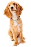 spaniel щенка кокерспаниеля Стоковые Фото