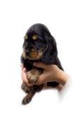 spaniel щенка кокерспаниеля Стоковое Изображение