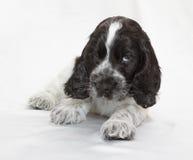 spaniel щенка кокерспаниеля английский Стоковое Изображение