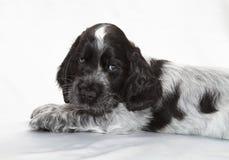 spaniel щенка кокерспаниеля английский Стоковое фото RF