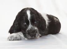 spaniel щенка кокерспаниеля английский Стоковые Изображения RF