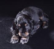 Spaniel щенка черной собаки русский на черной предпосылке стоковое изображение