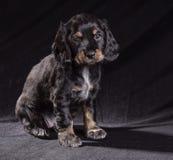 Spaniel щенка черной собаки русский на черной предпосылке стоковое фото