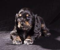 Spaniel щенка черной собаки русский на черной предпосылке стоковая фотография