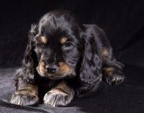 Spaniel щенка черной собаки русский на черной предпосылке стоковое фото rf