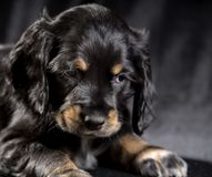 Spaniel щенка черной собаки русский на черной предпосылке стоковые изображения rf
