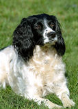 Spaniel 2 Royalty Free Stock Photo