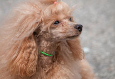 Spaniel. Outdoor portrait of nice spaniel Stock Photography