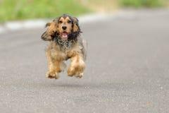 Портрет щенка Spaniel кокерспаниеля Стоковое фото RF