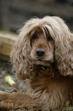Spaniel Stock Images