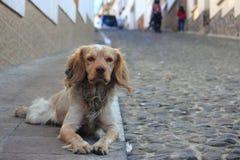 Spaniel auf dem Bürgersteig in Potosi Lizenzfreie Stockbilder